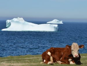 Cow practicing yoga in front of an iceberg in Newfoundland. Photo: Violet Lodge.
